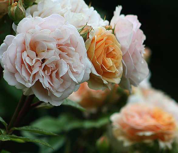gertrude jekyll rose standort