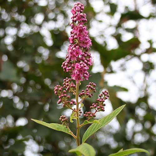 Str ucher bestimmen wer kann helfen rosen forum bei schmid gartenpflanzen - Gartenpflanzen bestimmen ...