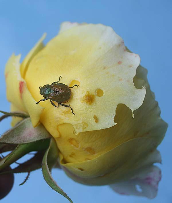insekten und spinnentiere hilfe k fer fressen rosenbl ten. Black Bedroom Furniture Sets. Home Design Ideas